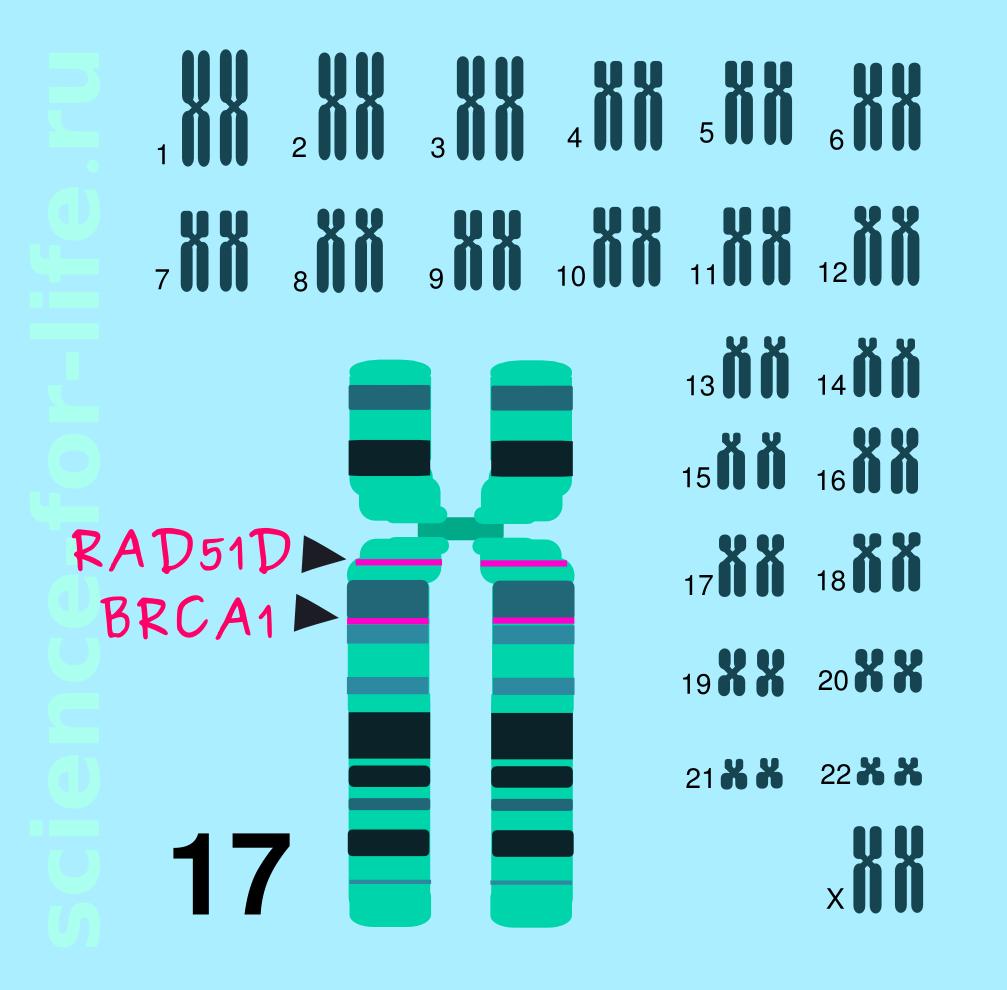 RAD51D gene