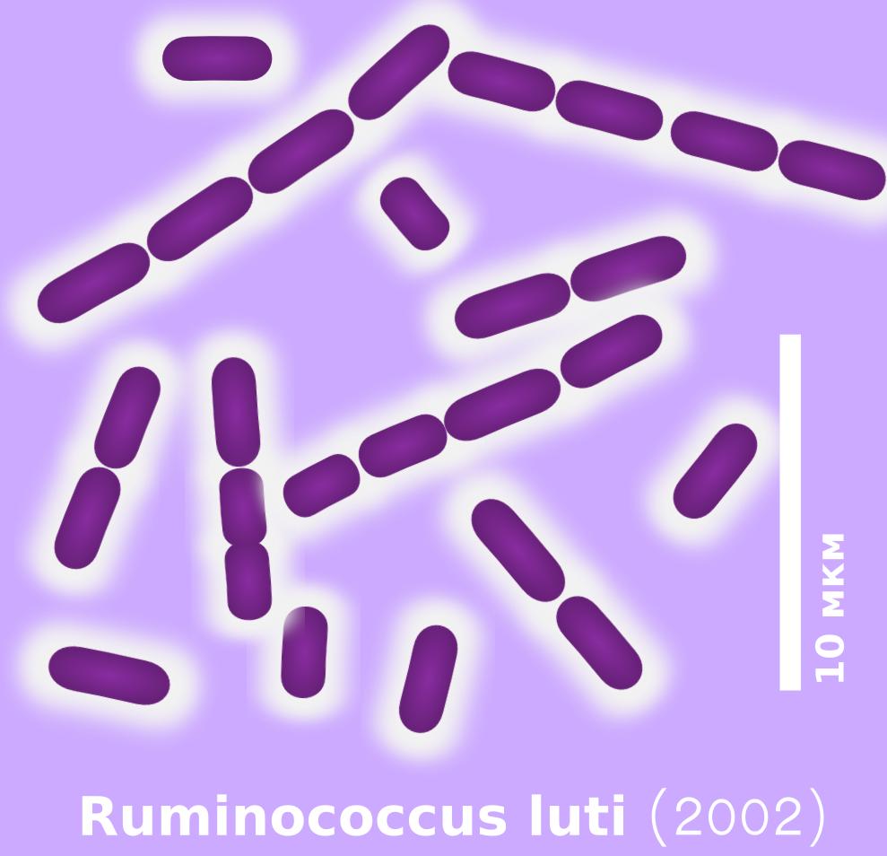 Ruminococcus luti 2002