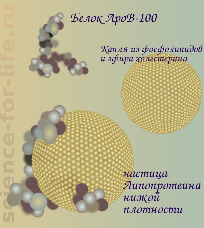 ApoB-100